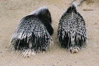 Porcupines in the Wellington Zoo