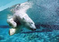 A polar bear diving in the Aquarium of Quebec